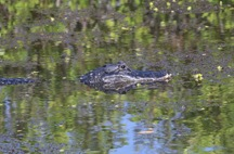 Alligator in camoflauge